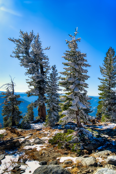 Snowy trees along the trail to Mt. Ralston (Vertical)