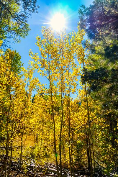 The sun shining through the aspen