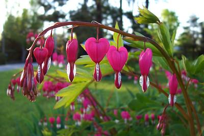 Bleeding Hearts - Ashton, Ontario