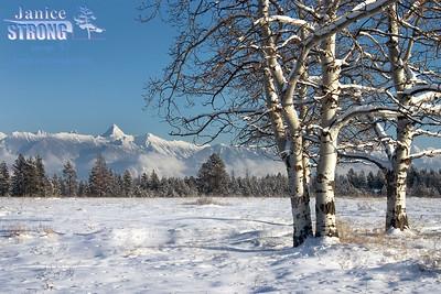 213_1323 Fisher Winter Aspens