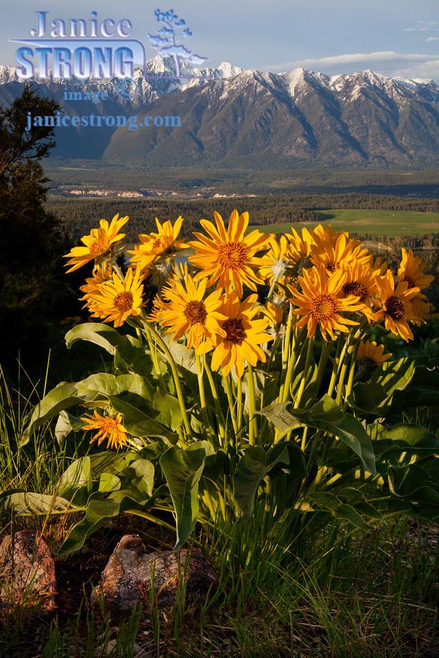#0581-0582 Fisher Peak Balsamroots  Warm  Evening Light