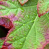 Oak Leaf Hydrangea Leaves and Raindrops
