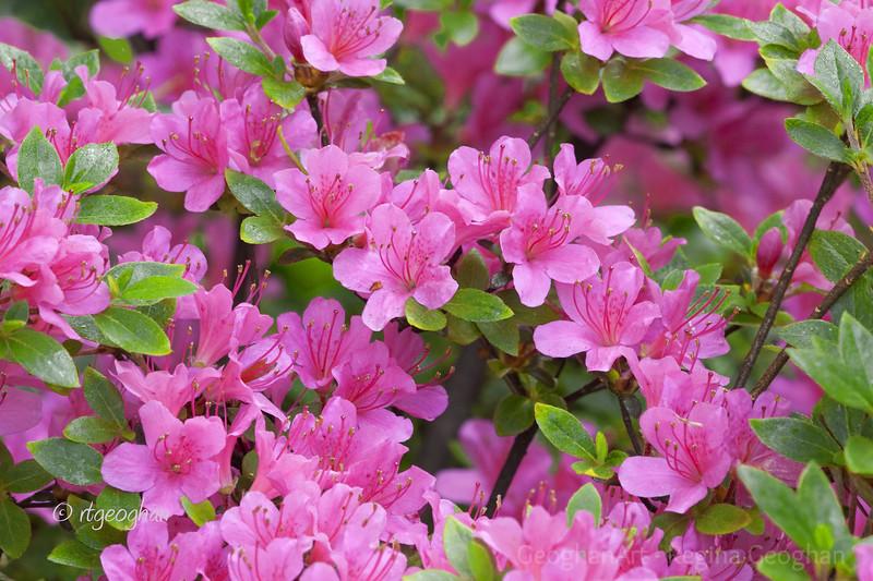 Flowering Shrubs_Azaleas-Pink_0169.jpg