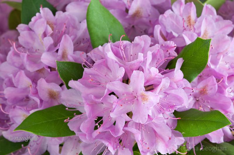 Flowering Shrubs_Rhododendron_2706.jpg