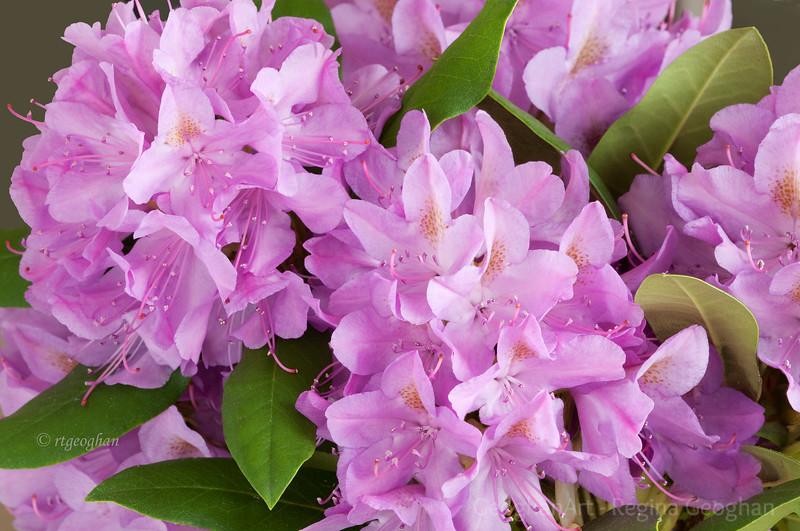 Flowering Shrubs_Rhododendron_2715.jpg