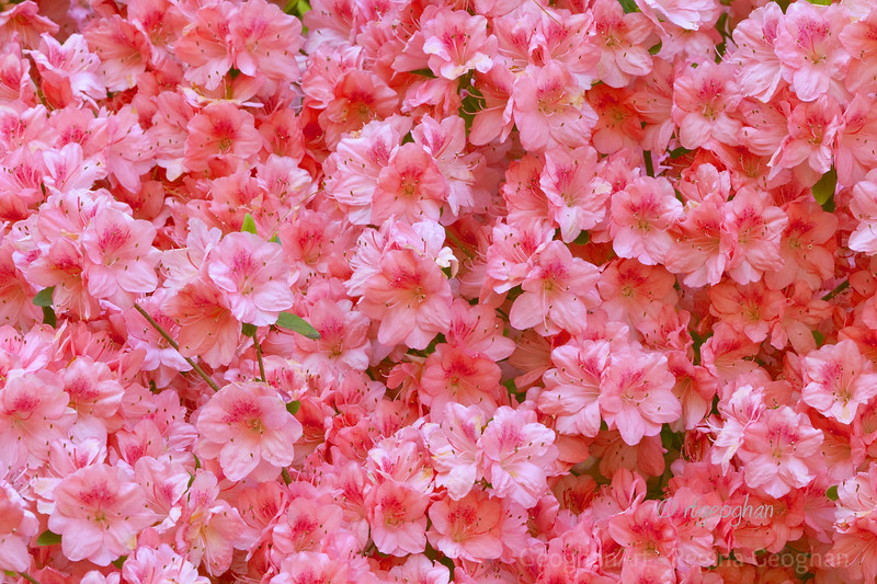 Flowering Shrubs_Azalea-Pink_0152.jpg