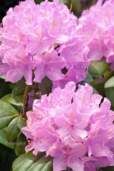 Flowering Shrubs_Rhododendron_2664.jpg