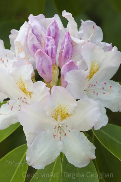 Flowering Shrubs_Rhododendron_0144.jpg