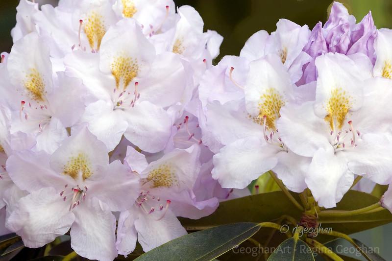 Flowering Shrubs_Rhododendron_0048.jpg