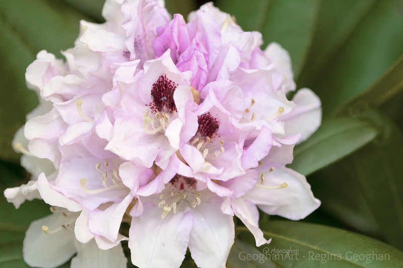 Flowering Shrubs_Rhodendron-Lavender_2256.jpg