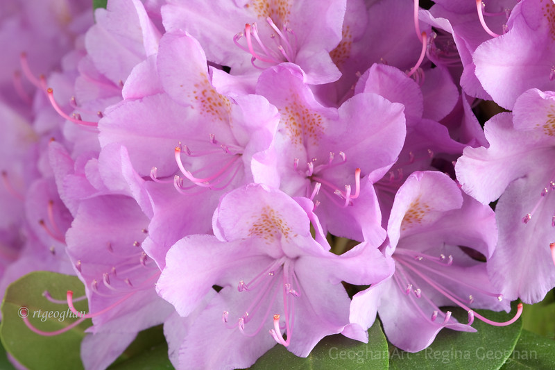 Flowering Shrubs_Rhododendron_2686.jpg