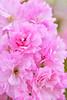 Pinnk Kwanza Cherry Blossoms