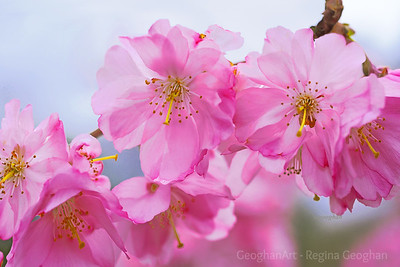 Pink Cherry Blossom Cluster