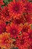 Bronze Chrysanthemums