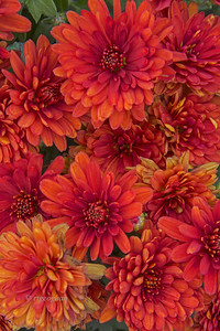 Bronze Chrysanthemums