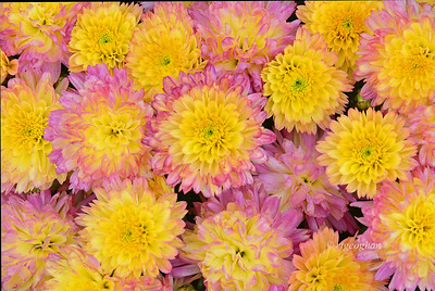 Chrysanthemums Pink and Yellow