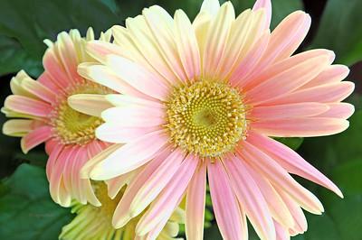 Pastel Gerbera Daisy