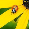 Ladybug Beetle on Black-eyed Susan
