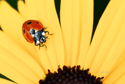 Lady Bug on Black-eyed Susan Flower