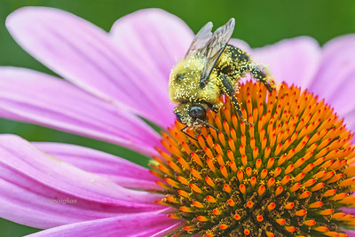 Coneflower and Bumble Bee Pollinator