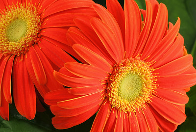 Orange Gerbera Daisies Portrait