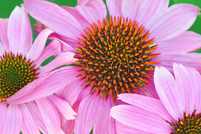 Purple Coneflower Trio
