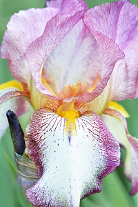 Iris-Mount Timp