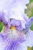 Iris - Striped Butterfly