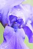 Iris-Eastmont