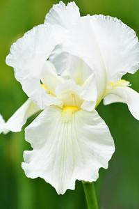 Iris in White