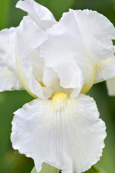 Iris Immortality