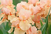 Iris Garden Spring Bonnet