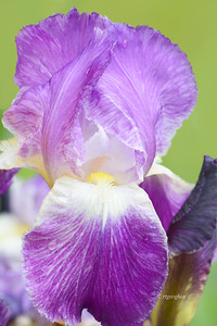 Iris-Pretty Pansy