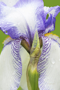 Iris-Theodolina Flower and Bud