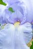 Iris-Blue Sapphire