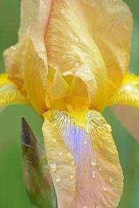 Iris-Byzantium
