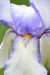Iris- Theodolinda