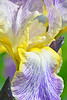 Iris-Moonlit Sea
