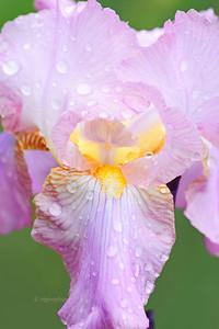 Iris-Pink Ruffles