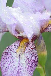 Iris-Rhages