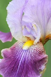Iris Dune Sea