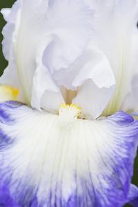Iris-Snow Day