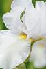 Iris Mount Washington