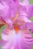 Iris-Allegheny Rose