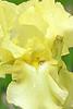 Iris-Countryside