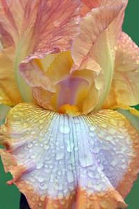 Iris Ginger Swirl Portrait