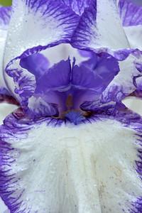 Iris Rare Treat