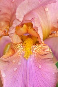 Iris-Alpine Glow