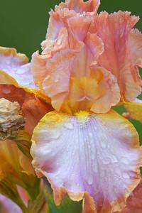 Iris-Ginger Swirl