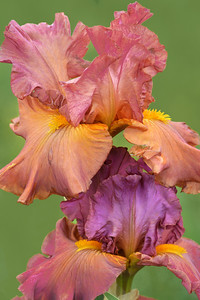 Iris-Early Harvest